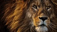 Unable to View Lion in 3D in Your Space? Here're 10 HD Wallpapers and Photos of Lions, the Mighty King of the Jungle for Free Download Online