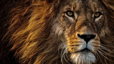 Lion Photos in HD