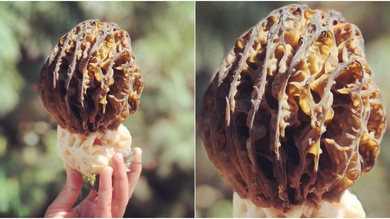Morel Mushrooms Grow in J&K, Know Everything About Kanagaech or Gucci, One of The World's Most Expensive Edible Mushrooms (View Pic)