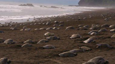 Lakhs of Olive Ridley Turtles Start Nesting on Odisha Coast at Gahirmatha Beach and Rushikulya Rookery As India Is on Coronavirus Lockdown (See Pictures and Videos)