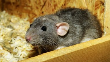 Hantavirus Causes, Symptoms & Prevention: Know Everything From Transmission, Vaccine to Cure of Hantavirus Pulmonary Syndrome (HPS)