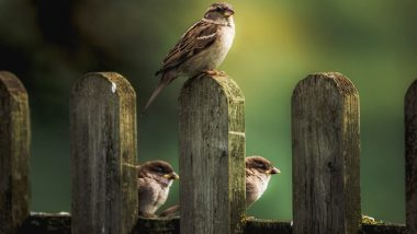 World Sparrow Day 2020: A Look at House Sparrows That is Disappearing From Our Cities