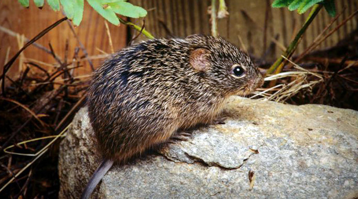 Hantavirus: News of Person Dying Due to Another Virus in China Leaves Netizens Scared; Here's All You Need to Know About Hantavirus Pulmonary Syndrome