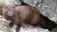 COVID-19 Risk Via Minks? Holland Bans Transportation of Minks After Suspicion Over Animal-To-Human Transmission of Coronavirus