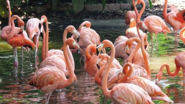 Migratory Flamingos Flock to Navi Mumbai: Pictures and Videos of Flamingo Birds Swarming Mesmerise Netizens As the Turnout Increases Than Last Year!