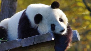 Giant Panda 3D View on Google Not Working, View Cutest HD Photos & WhatsApp Stickers of Pandas and Download Them for Free Online!
