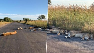 Pride of Lions Spotted Sleeping on Road in South Africa's Kruger National Park During Coronavirus Lockdown (See Pictures)