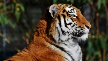 India's 2018 Tiger Census Makes It to Guinness Book of World Records