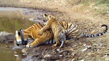 Tiger Cub Born in Sariska Reserve of Rajasthan: Know What Makes This New Cub a Lucky One