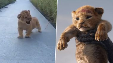 Adorable Lion Cub's Roar Reminds Netizens of Simba From The Lion King (Watch Video)