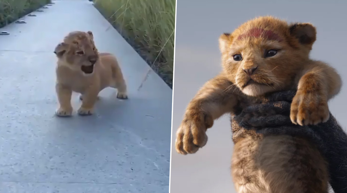 Adorable Lion Cub S Roar Reminds Netizens Of Simba From The Lion King Watch Video Latestly