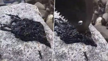 Viral Video of Mysterious Black Creature is Reminding People of Venom; Know More About Bootlace Worm, One of The Longest Animals on Earth