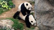 Giant Pandas Ying Ying and Le Le Mate at Ocean Park in Hong Kong for the First Time, View Pic and Video As They Share an Intimate Moment!