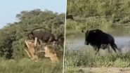 Video of Buffalo's Mighty Leap Over a Pride of Lions to Escape an Attack Is Going Viral on Twitter!