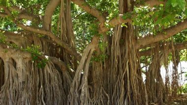 Vat Savitri Vrat and Puja 2020: What Is the Significance of Bargad Ka Ped? Reasons Why Banyan Tree Is Essential for the Hindu Festival