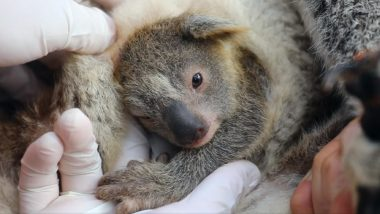 Ash, First Koala Born in Australian Reptile Park After Devastating Bushfires Gives Reason to Have Hope in 2020! (Watch Adorable Video)