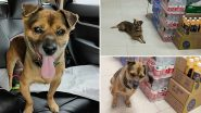 Dog Waits For Owner Who Died of COVID-19 at Wuhan Hospital for Three Months, Reminds Netizens of Hachikō! (See Pictures)