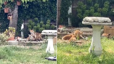 Fox Gives Birth to Babies at Woman's Garden in UK, Delighted Twitterati Calls it 'Fox News!' Seeing Adorable Viral Video!