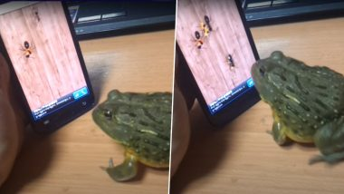 What The Frog! African Bull Frog Enjoys Playing Ant Crusher on Smartphone And Bites Man For Interfering, What Funny Video