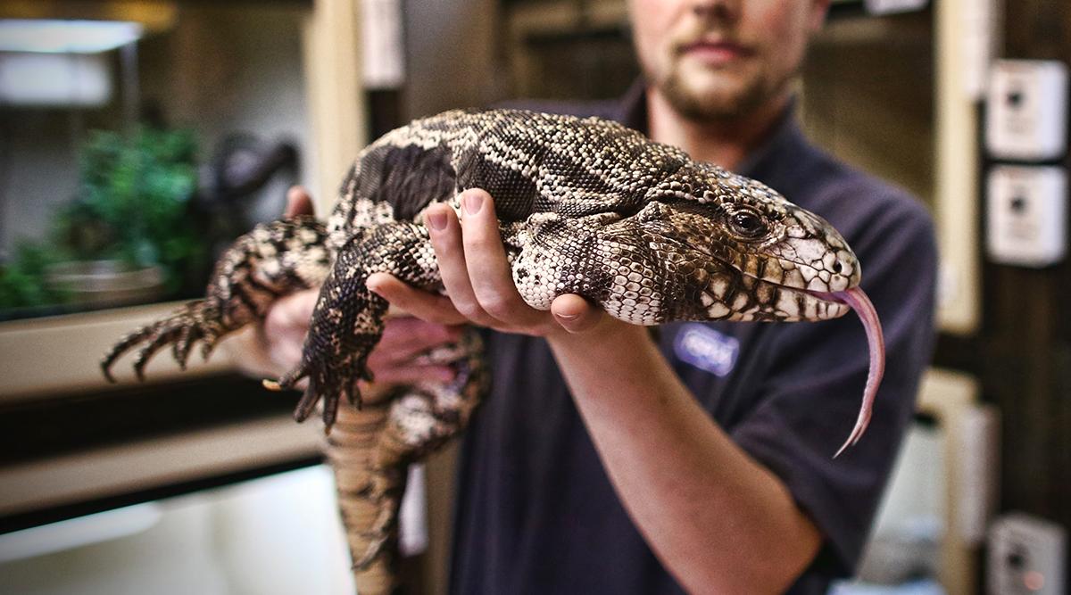 Tegu lizard eating Megyn Kelly (HD) - YouTube   Giant Tegu Lizard