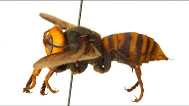What Happens After Murder Hornet Stings? Here's How to Treat The Painful Sting By Asian Giant Hornet, As Per Experts