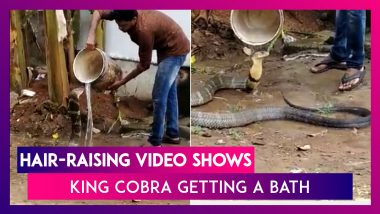 King Cobra Gets A Bath, Hair-Raising Video Goes Viral
