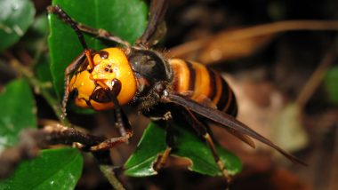 First Murder Hornet Caught in Trap in Washington, Gives Hope on Plans to Eradicate The Colonies of Asian Giant Hornets