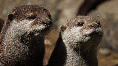 World Otter Day 2020 Date And Significance: Know About The Day That Supports the Existence of Otters