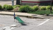 Love Matters! Peacock Travels From Franklin Township to Indianapolis in Pursuit of Love (See Pictures)