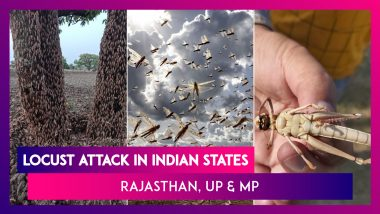 Locust Attack Hits Indian States, Swarms Reach Madhya Pradesh: Know All About This Pest Outbreak
