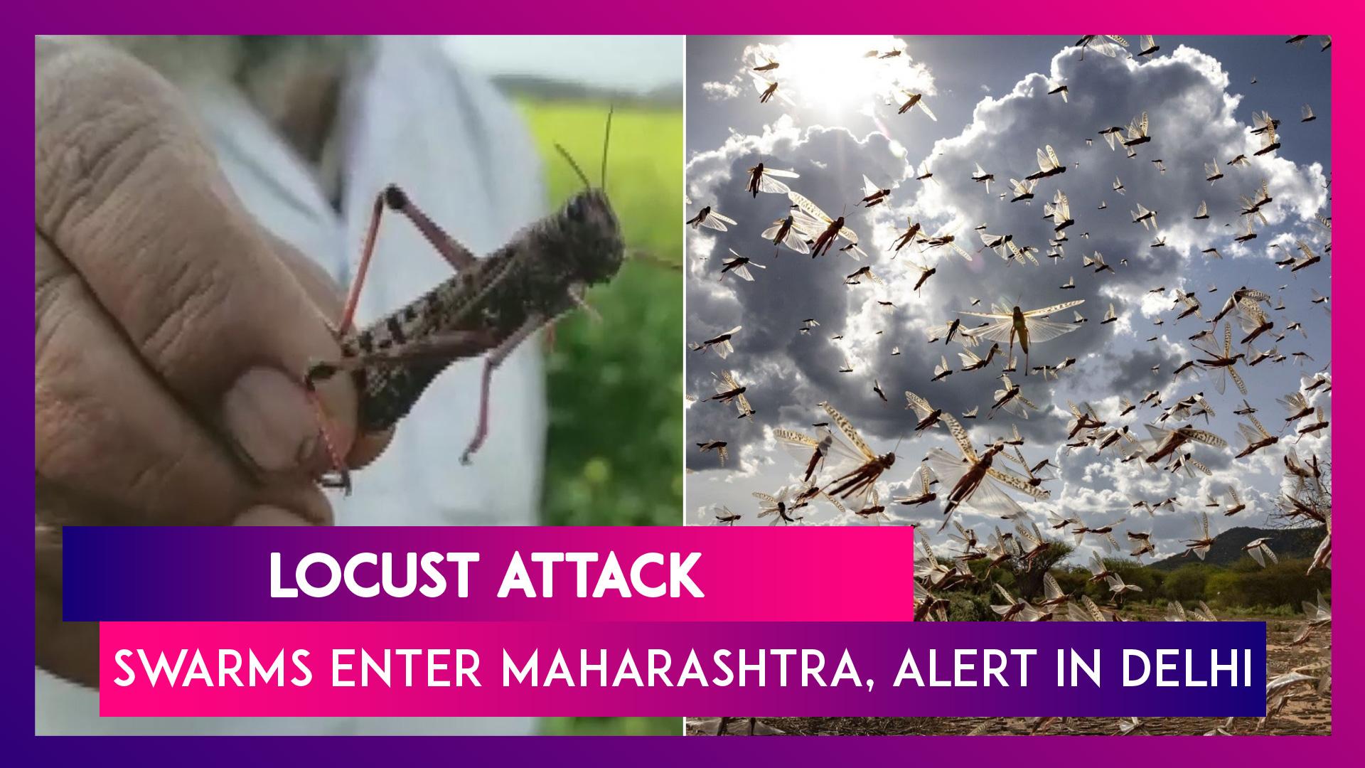 Locust Swarms Enter Maharashtra, Delhi On Alert While UP Govt Deals With Tiddi Dal Attack In Jhansi