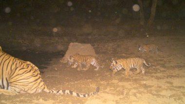 Good News! Three New Tiger Cubs Born at Sariska Tiger Reserve in Rajasthan (View Pic)