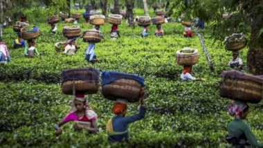 CSIR Institute Claims Kangra Tea Can Build Immunity Against Covid-19