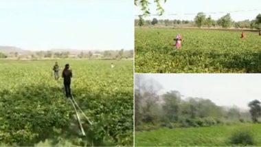 Locust Attack: Farmers in Budhni And Nasrullaganj Areas in Madhya Pradesh Beat Utensils to Scare Away 'Tiddi Dal', Watch Video