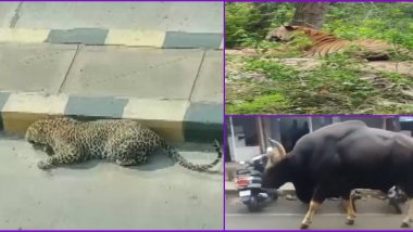 Animals Reclaiming The World in Photos & Videos: From Leopard in Hyderabad to Gaur in Assam, 5 Instances of Wild Animals in India on The Loose