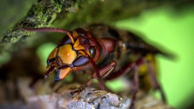 Murder Hornets Can Cause Ecological Risks! Here Is How Scientists Planing to Eradicate the Asian Giant Hornet Spotted in the US for the First Time
