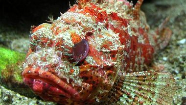 Bandtail Scorpionfish, Rare Marine Species Discovered in the Gulf of Mannar, Kochi