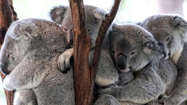 Winter in Australia Pics & Videos: From Snowfall to Cuddled-Up Koalas, Mesmerising Winters Day 1 Posts From the Land of Kangaroos Have Taken Over Twitter!