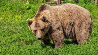 Odisha: Wild Bear Strays Into Bhawanipatna Town, Injures Two; Still at Large