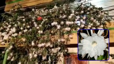 Rare Video of 100 Brahma Kamal Flowers Blooming at Home in Mysore Goes Viral; Know How to Grow This Plant at Home