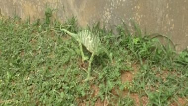 Rare Chameleon Species Rescued in Odisha, View Pic