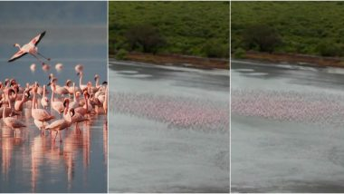 Pink Flamingos in Navi Mumbai Signal About Cyclone Nisarga, Change Formations to Safeguard Against Strong Winds! Watch Mesmerising Video of The Flock of Birds