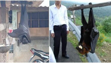 Viral Pics of Large Bats, Being Called 'Human-Sized', From Philippines Are Scaring People; Know More About Giant Golden-Crowned Flying Fox