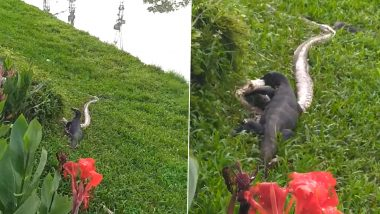 Big Feast! Monitor Lizards Caught Eating a Dangerous Reticulated Python Snake in Singapore (Watch Shocking Video)