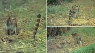 Monkey Vs King Cobra Battle Video Goes Viral, Netizens Amused Seeing The Snake Lose in This Shocking Footage From The Wild