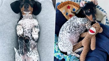 Spotted! Moo, Dachshund That Has Fur Like a Dalmatian is Internet's Latest Dog Sensation (View Adorable Pics)