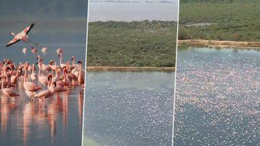 Pink Flamingos in Navi Mumbai Signal About Cyclone Nisarga, Watch Video of The Flock of Birds