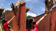 Sunny Leone Feeding A Giraffe From Her Hands Wins Our Hearts In These Trying Times (Watch Video)