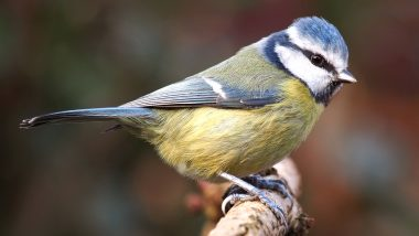 Suttonella Ornithocola, Pneumonia-Like Disease Is Infecting Eurasian Blue Tits in Germany