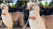 Caeser, the 'No Drama Llama' Joins George Floyd Protest in Portland, Netizens Call His Presence 'Therapeutic' (View Pics)